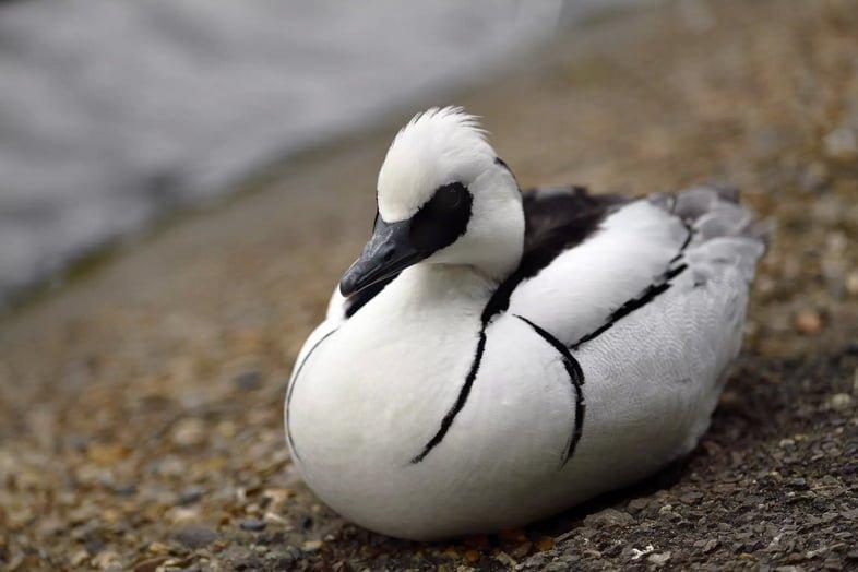 Луток самец отдыхает на берегу