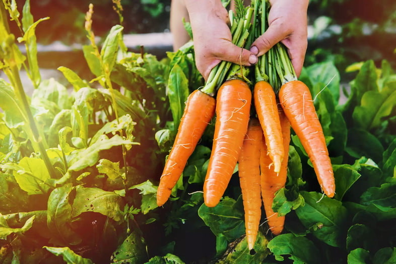 Свежесобранная морковь