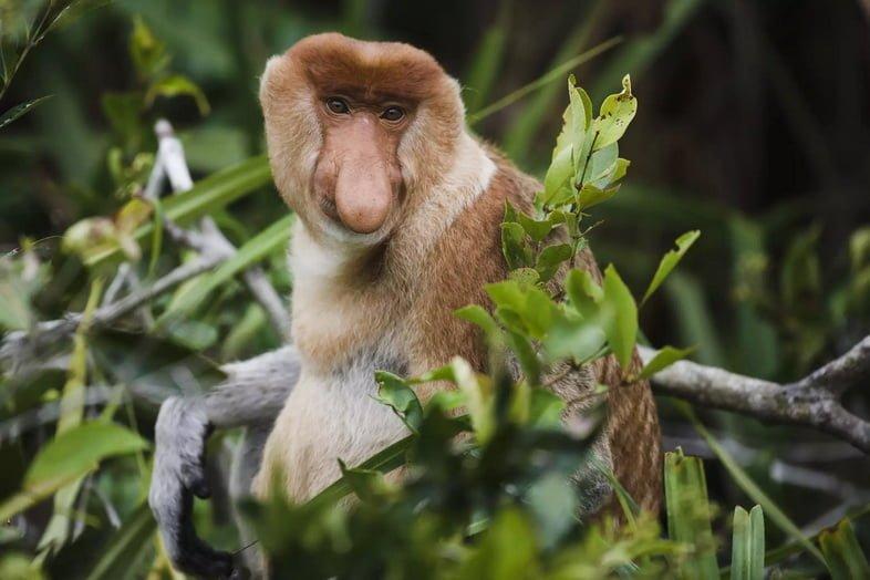Самец носача на Борнео, Индонезия