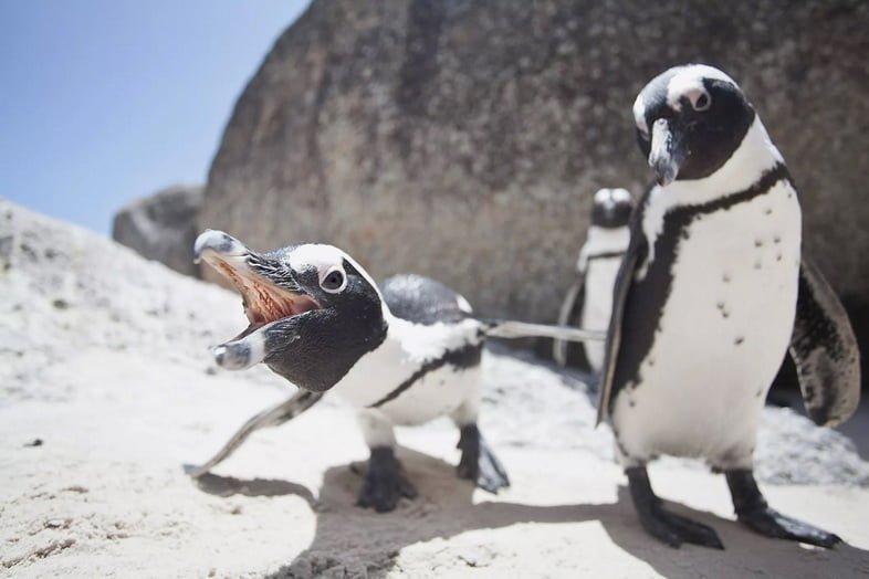 Африканские пингвины, Южная Африка