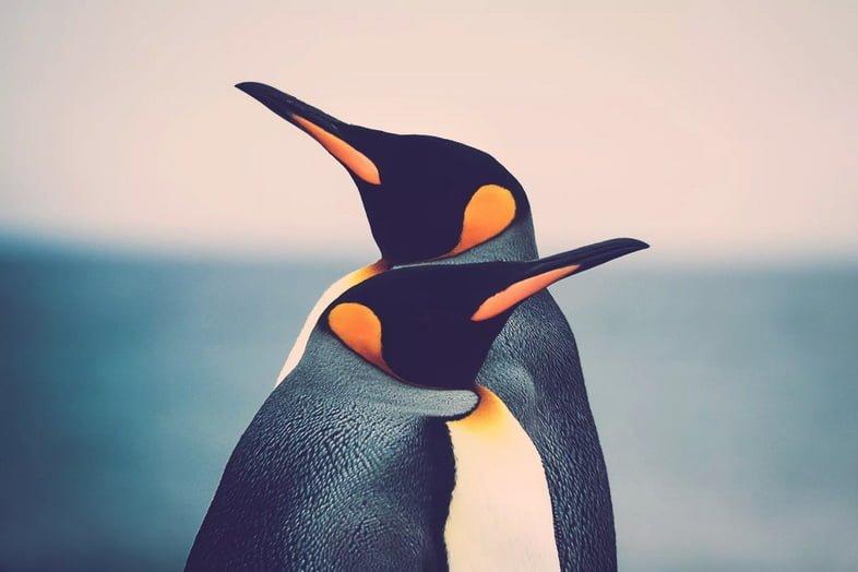 Пара королевских пингвинов (Aptenodytes patagonicus), стоящих друг перед другом