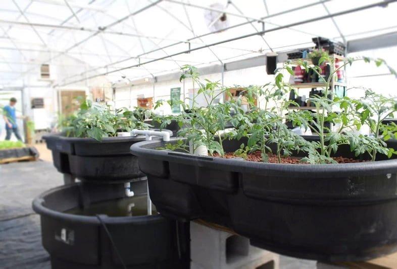 Выращивание помидоров в аквапонической системе