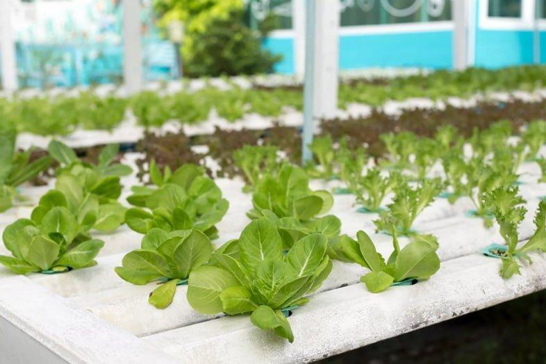 Выращивание шпината в аквапоническом саду