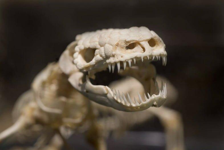 Скелет аризонского ядозуба