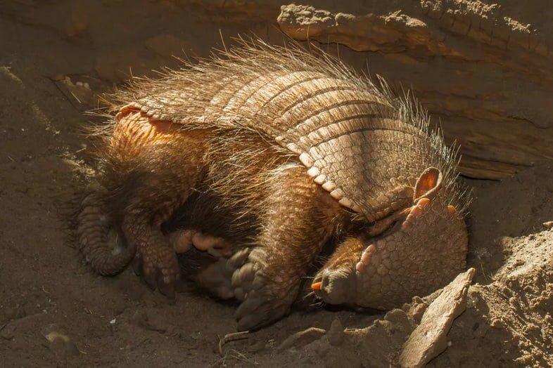 Броненосец спит в норе