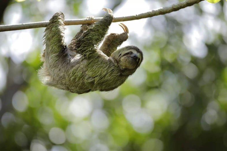 Ленивец передвигается по ветке дерева