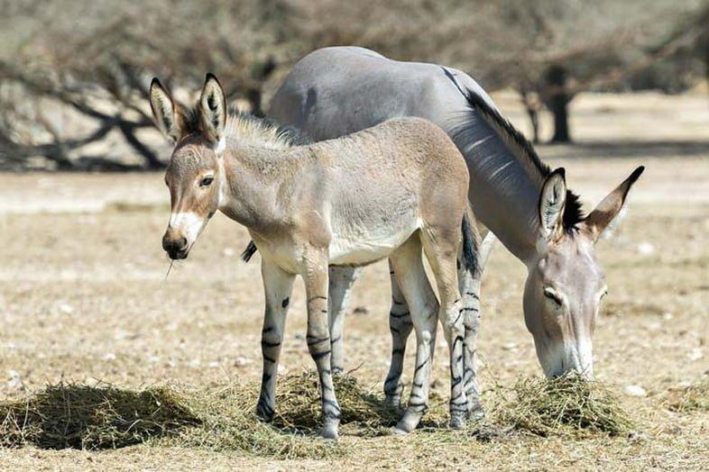 Взрослый и детеныш сомалийского дикого осла (Equus africanus somaliensis) пасутся.