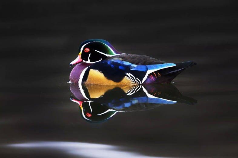 Красочная каролинская утка на воде