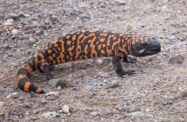 Яркая оранжево-черная ядовитая ящерица аризонский ядозуб на дороге в Аризоне
