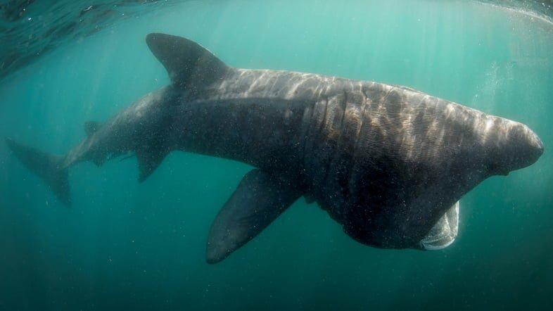 Подводное фото гигантской акулы у берегов Ирландии