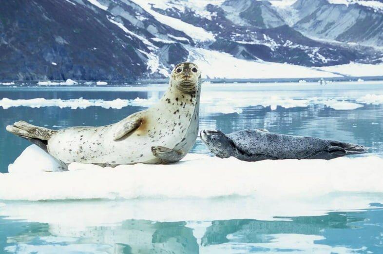 Обыкновенный тюлень и детеныш в Глейшер-Бей