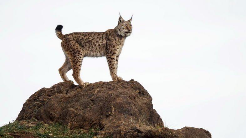 Фотография самки обыкновенной рыси, стоящей на вершине скалы