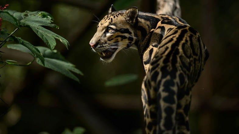 Фотография дымчатого леопарда на ветке