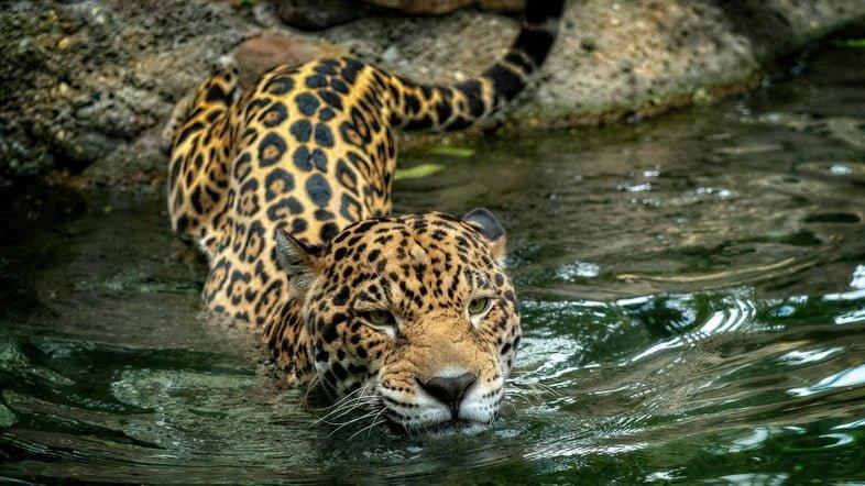 Фотография ягуара, входящего в воду и начинающего плыть