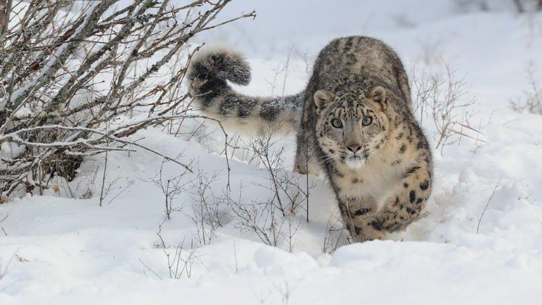 Фотография ирбиса, смотрящего в камеру во время прогулки по снегу