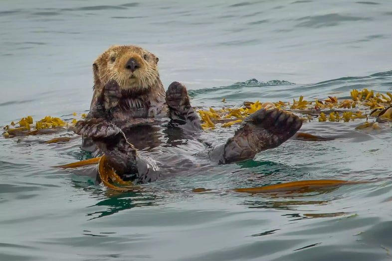 Морские выдры – лишь один из многих видов млекопитающих, обитающих в Глейшер-Бей