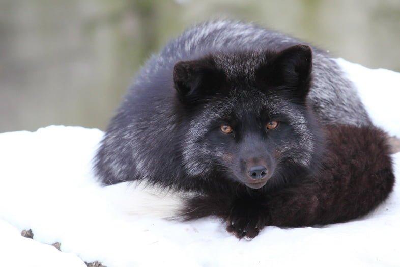 Чернобурая лисица лежит в снегу