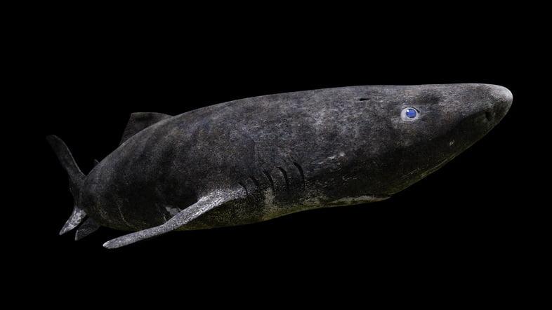 Плавание гренландской полярной акулы, Somniosus microcephalus, на черном фоне