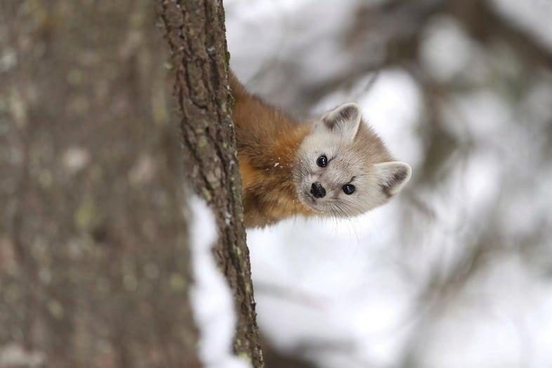 Американская куница спускается с дерева в тайге