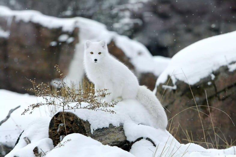 Песец в снегу