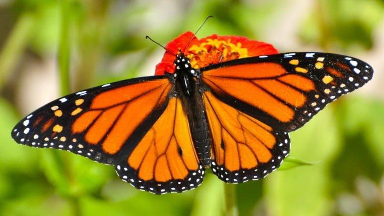 Бабочка монарх крупным планом