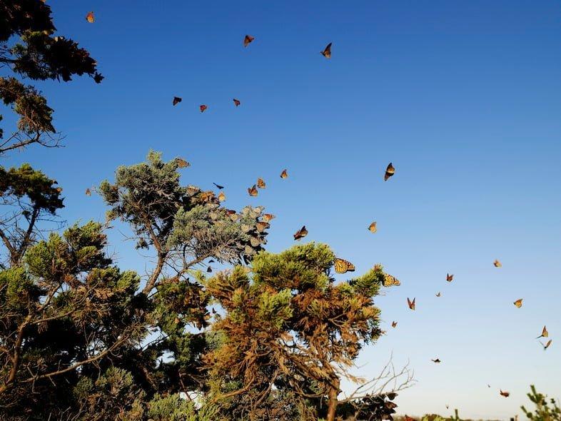 Бабочки монарх летят возле сосны в солнечный день