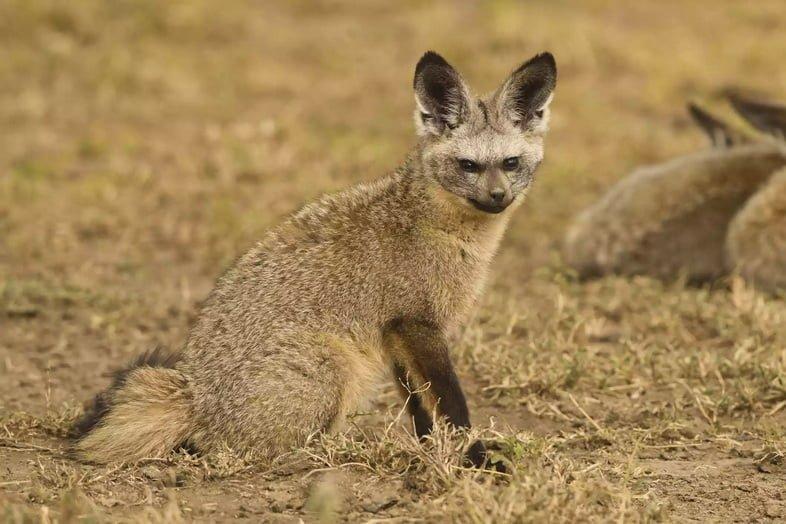 Большеухая лисица в Серенгети