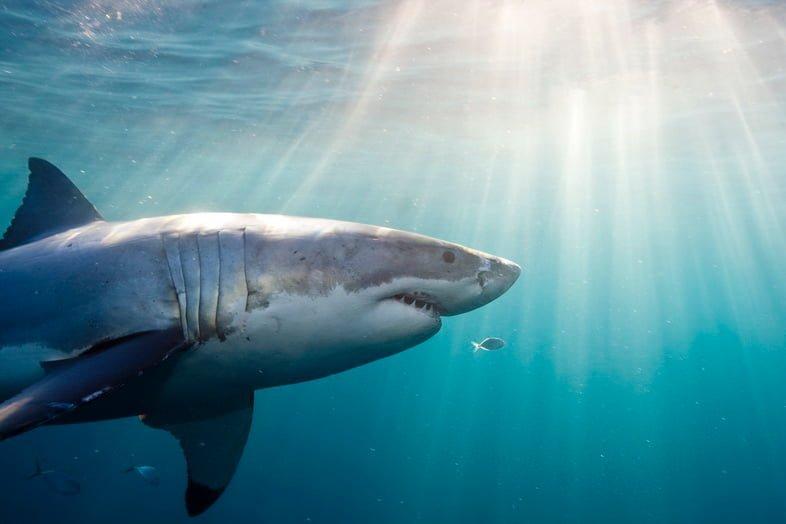 Профиль белой акулы, плавающей в чистой голубой воде