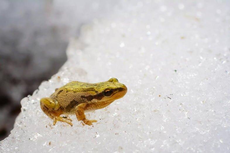 Лягушка Pseudacris maculata сидит на снегу и льду