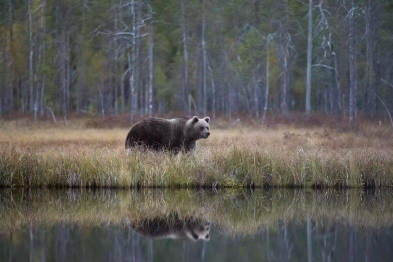Бурый медведь идет по берегу озера в восточной Финляндии
