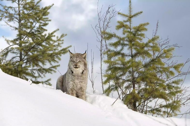 Канадская рысь на заснеженном холме