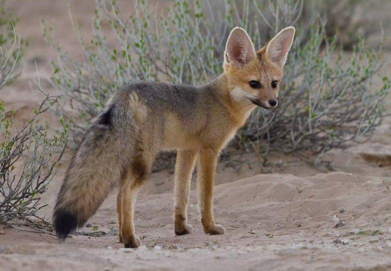 Южноафриканская лисица на песке в трансграничном парке Кгалагади, Африка