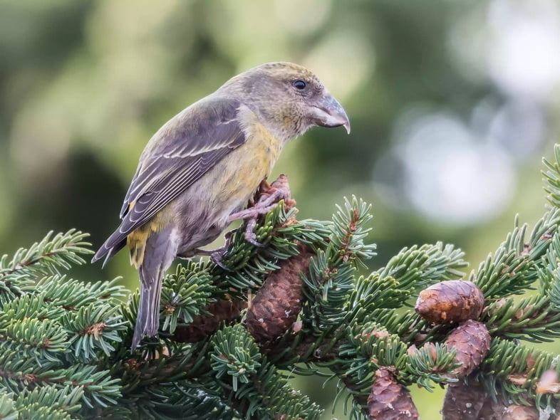 Птица клёст сидит на сосне с шишками