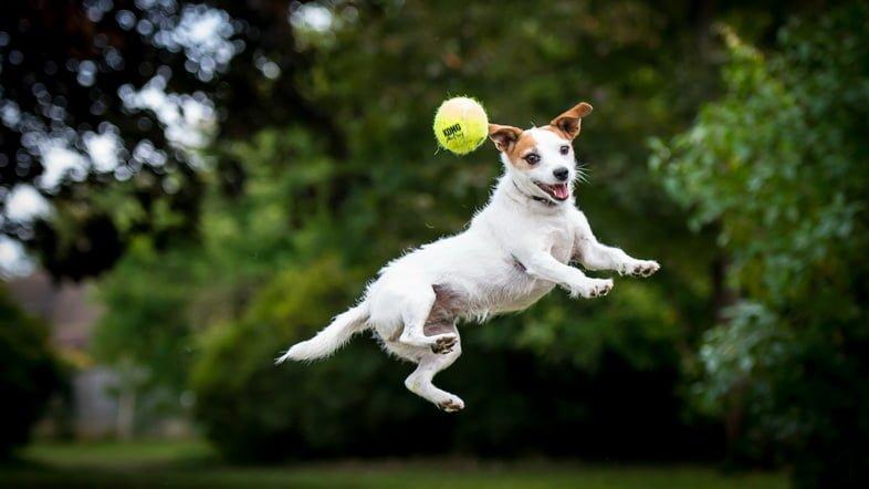 Джек Рассел прыгает за мячом