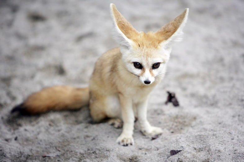 Лисица фенек сидит на песке