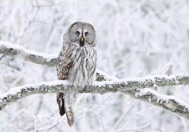Бородатая неясыть сидит на ветке дерева в снегу