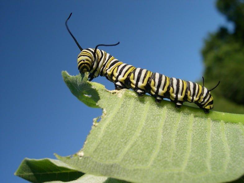 Гусеница монарха, жующая лист ваточника крупным планом
