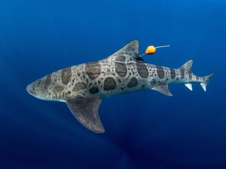 Помеченная калифорнийская тройнозубая акула