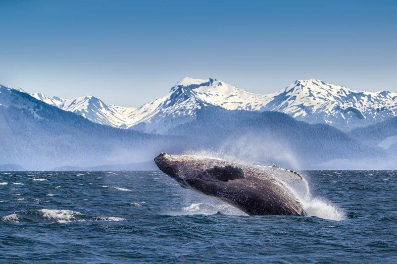 Всплеск горбатого кита в национальном парке Глейшер-Бей
