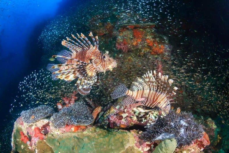 Две большие крылатки на коралловом рифе