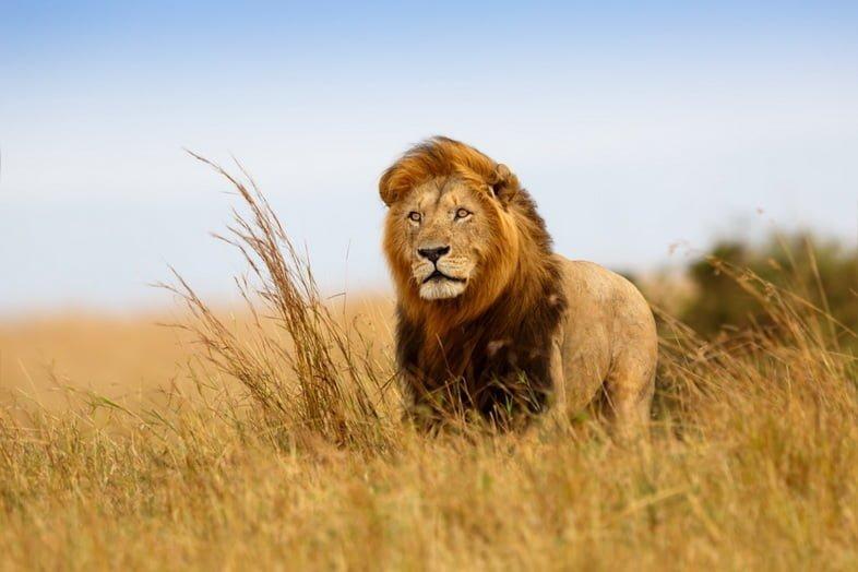 Красивый лев в сухой траве Масаи-Мара, Кения
