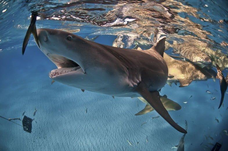 Лимонная акула на Багамах в поисках еды