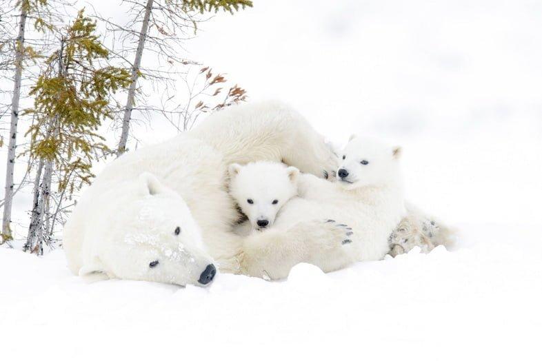 Мама белого медведя играет со своими медвежатами