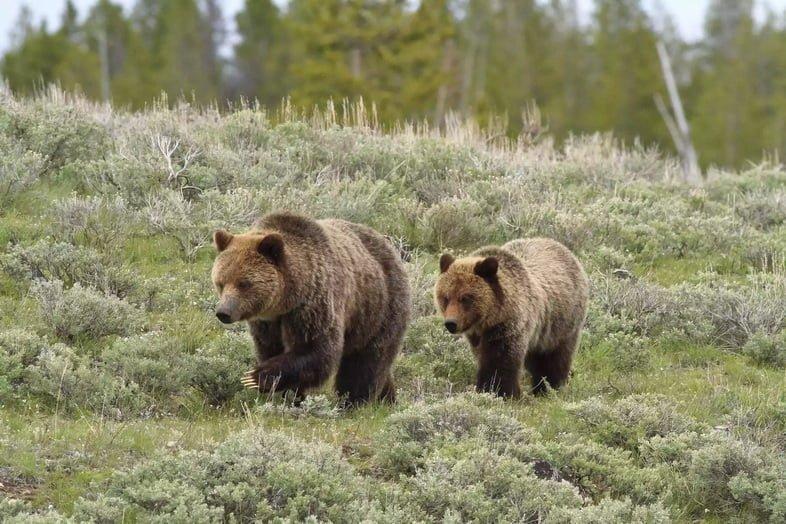 В соответствии с Законом об исчезающих видах медведи гризли охраняются в Йеллоустоне