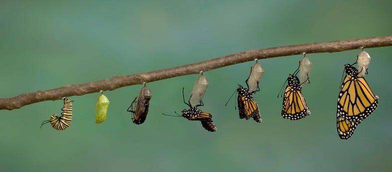 Фотография, показывающая переход от гусеницы монарха к бабочке