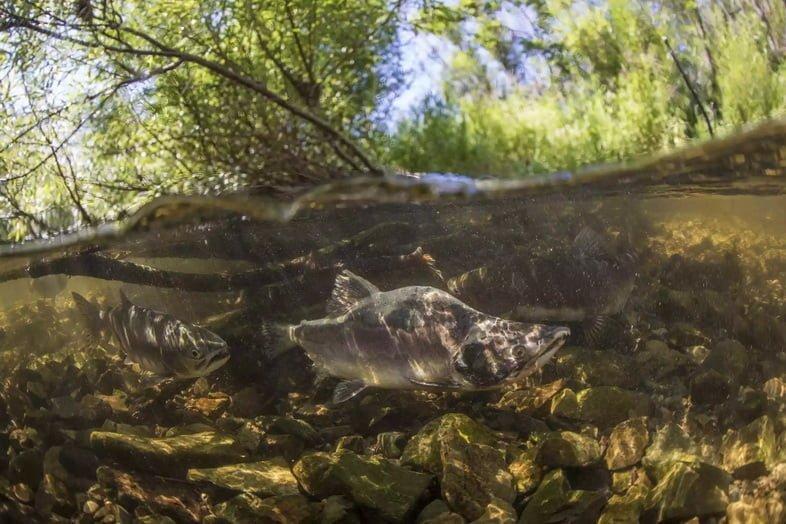 Горбуша плывет в ручье в Хабаровском крае, Россия