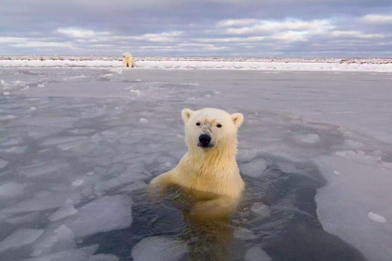 Белый медведь плывет среди морского льда