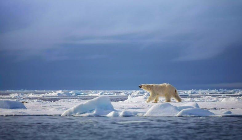 Белый медведь на морском льду в Шпицбергене, Норвегия