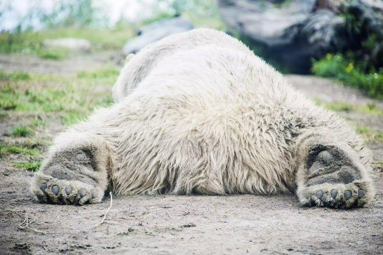 Огромный белый медведь растянулся на земле