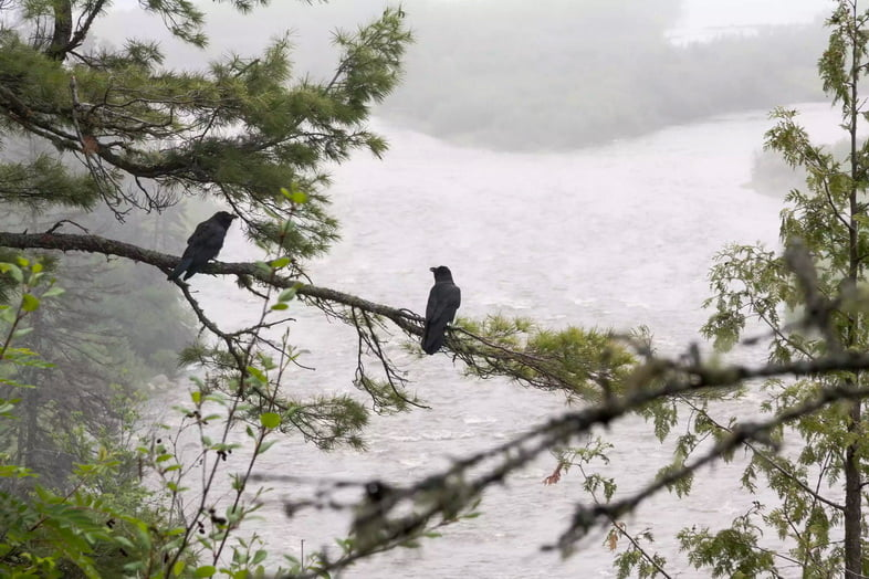 Два ворона сидят на дереве с видом на реку